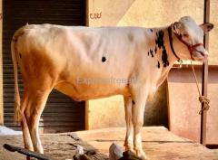 Pure German breed hf calf