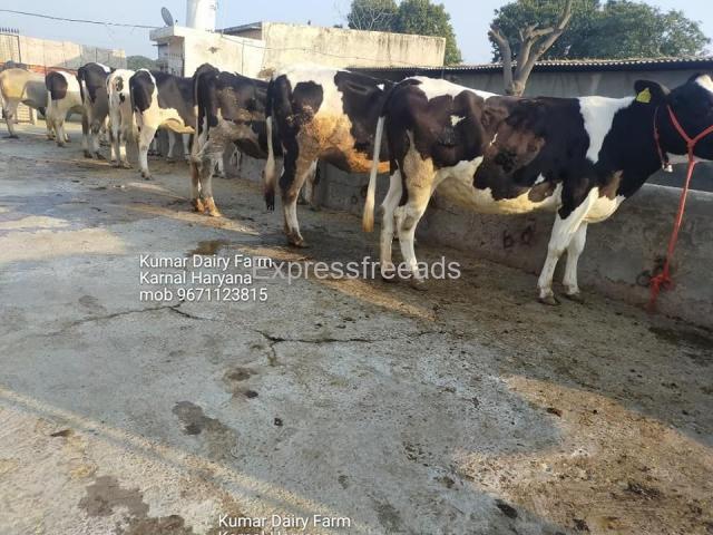 Hf cows supplier