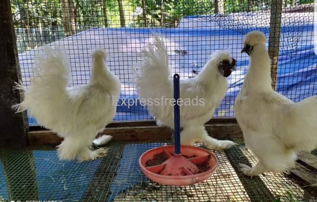 American Silky Ducks for sale at chalakudy kerala