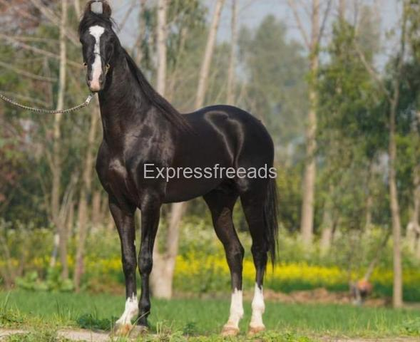 Stallion for Stud Service in Rohetghar in Rajasthan