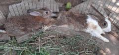 1 Male 3 Female Rabbits For Sale East Godavari Andra Pradesh