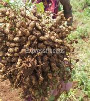 K1812 groundnuts available In Madanapalle Andra Pradesh