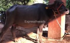 Murrah buffalo For sale In Tiptur Karnataka