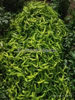 Green Chilly For Sale Direct From Farmer whole Sale Rate In Dharwada  Karnataka