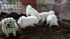 Pomeranian puppies for sale in Kengeri Bangalore