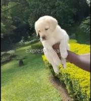 Quality Labrador Puppies For Sale In Bangalore