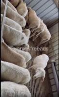 Male Sheeps For Sale In Malur Karnataka