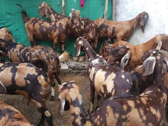 Goat For Sale in Rajasthan