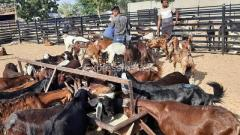 All type goats suppliers  all india suppliers Ajmer Rajasthan