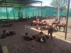 Sirohi breed Goat For sale In Ajmer Rajasthan