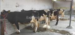 HF cows supplier In Karnal Haryana