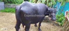 Buffalo for sale Krishna District Andra Pradesh