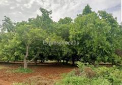 54 Acres Mango Plantation Farm Land for Sale in Vijayawada