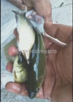 Ravu Fishes For Sale Surya Pet Nalgonda District Telangana