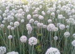 Arka kalyan Onion Seeds