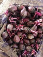 Beet root /disco pumkin