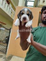 Top quality Beagle female puppys For Sale