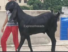 Beetal Goat Breed for sale