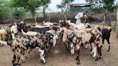 Qurbani Goats for Sale