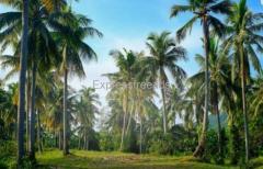 Coconut Farm for Sale for Farm House Construction