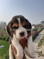 Beagle Male puppy