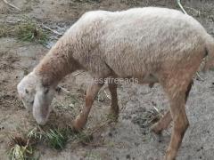 Nari suvarna male Sheep for sale