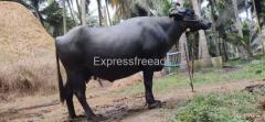 Buffalo for sale Amalapuram East Godavari Andra Pradesh