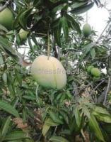 Noorjahan mango plant for sale