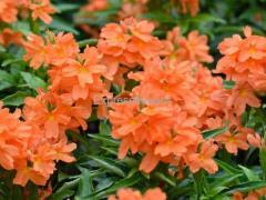 firecracker flower Plants Available For Sale