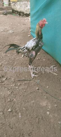 Kaki nemali  Fighter Chicken For Sale