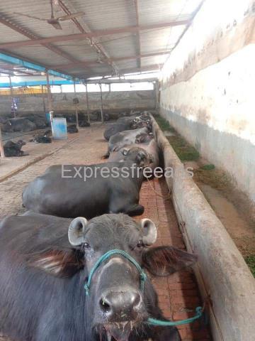 Murrah buffalo available for sale