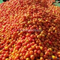 Tomatoes- Direct from farm
