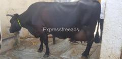 Hf cross cow for sale