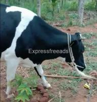 HF Cow For Sale