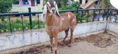 Beetal goat is For sale Hubli Karnataka