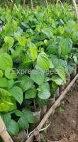 Pepper Plants For Sale in Chikmagalur Karnataka