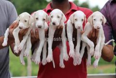 Mudhol Hound  3Male And 2Female Puppies Available In Bangalore