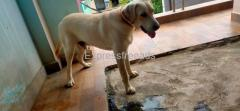 Heavy size Labrador male adult for sale