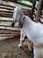 Jamunapari Goats For Sale in tumkur Karnataka