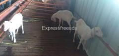 Tellicherry  female pregnant goats for sale