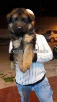 op quality Long Coat female puppy with Kci available in Bangalore