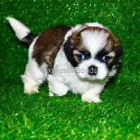 Beautiful Show Quality Shih Tzu Male Puppy Available in Bangalore