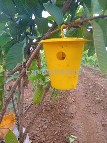 Indo Fruit Fly Pheromones Traps