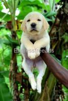 Labrador retriever female puppy available