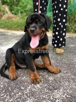 Certified Rottweiler male puppy for Sale