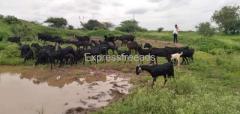 Osmanbadi Goat for sale in Solapur Maharashtra