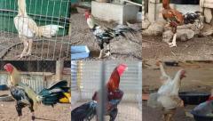 Breeder chicks for sale in Guntur Andhra pradesh