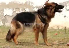 German Shepherd female puppy available For Sale