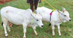 Miniature Dwarf Punganur Cow Both for Sale