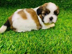 Quality Shih Tzu Male Puppies Available in Bangalore